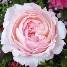 Keira роза садовая