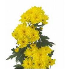"""""""Zembla Yellow"""" кустовая"""
