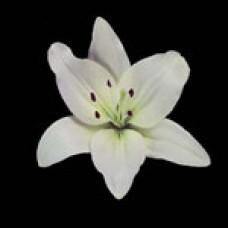 Lilium Asiatica NAVONA Навона
