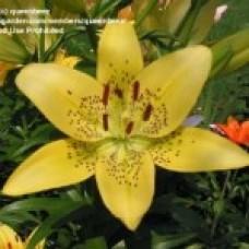 Lilium Asiatica ALLADIN'S GLOW Алладинс Глоу