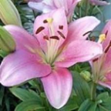 Lilium Asiatica BRINDISI Бриндис