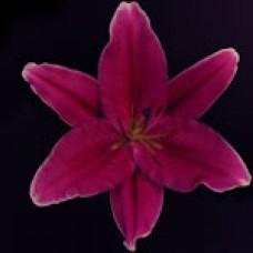 Lilium Oriental COBRA Кобра