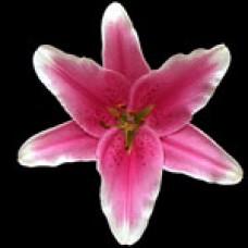 Lilium Oriental SORBONNE Сорбония