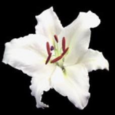 Lilium Oriental VESPUCCI Веспуччи
