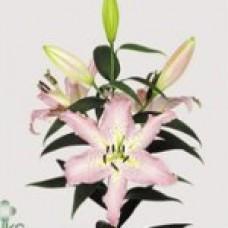 Lilium Oriental PANDORA Пандора