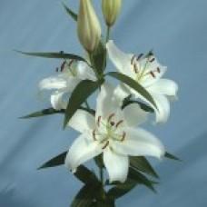 Lilium Oriantal SIBERIA Сиберия