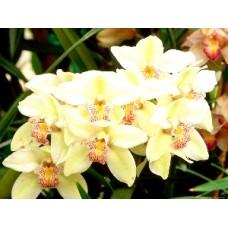 Орхидея По предварительному заказу