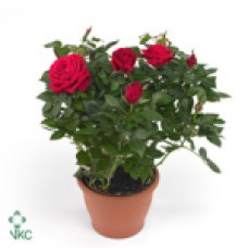 Роза Форева