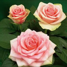 Belle Rose (Белла Роза)