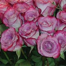 Pink Farfalla (Пинк Фарфала)