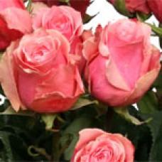 Star Rose (Стар Роза)