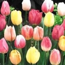51 Тюльпан Нидерланды